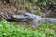 Alligatorn håller ögonen på dess unga lek i träskvattnet som honing deras jaga expertis royaltyfria foton