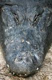 alligatorn rånar skjutit arkivfoto
