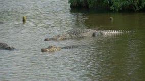 Alligatorn svävar precis ovanför vattnet stock video