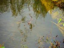 Alligatorn turnerar i evergladesnationalpark lager videofilmer