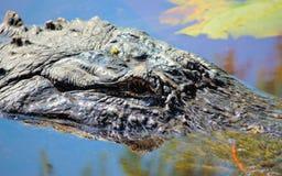 Alligatornahaufnahme in Orton-Teich Stockbilder