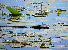 Alligatornahaufnahme in Orton-Teich Lizenzfreies Stockbild