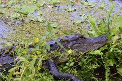 Alligatornederlag i ett damm Fotografering för Bildbyråer