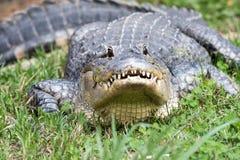 Alligatornederlag i gräset arkivfoto