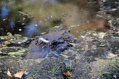 Alligatornederlag i träsket Royaltyfria Bilder
