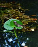 Alligatorparkseptember-Babyalligator Floridas USA Lizenzfreie Stockbilder