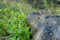 Alligatorperspektiv Fotografering för Bildbyråer