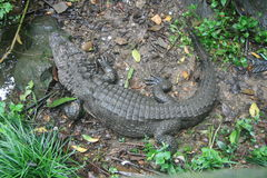 alligatorporslinhangzhou s zoo Royaltyfri Fotografi