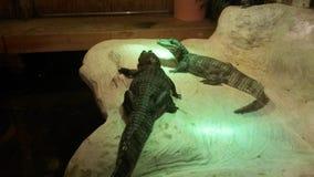 Alligatorreptilien nach innen Stockfotografie
