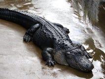 alligatorrunoff Royaltyfria Bilder