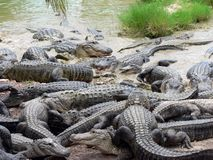 Alligators. Crawling over each other Stock Photos