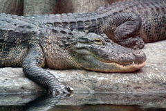 Alligators royalty free stock photos