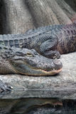Alligators Stock Photo