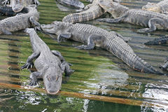 Alligators Royalty Free Stock Images