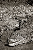 Alligators Stock Image