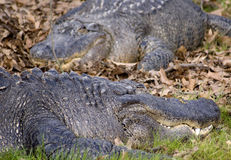 Alligators Stock Foto