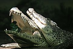 Alligators Stock Afbeelding