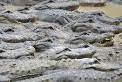 Alligators. Large group of alligators huddled together in muddy water Stock Photo