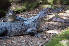 Alligators Stock Images