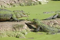 alligators Photos libres de droits