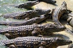 Alligators. Waiting for something, africa 2008 Royalty Free Stock Image