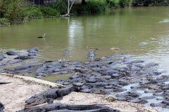 Alligators affamés Images libres de droits