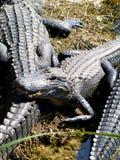 Alligators américains Photo libre de droits
