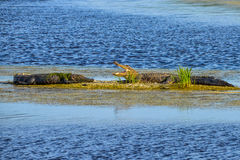 Alligators basking in the sun Royalty Free Stock Photo