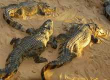 Alligators on  beach Stock Image