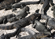 Alligators on the beach Royalty Free Stock Images