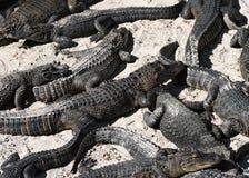 Alligators on the beach. Alligators sand beach relax sleeping many animal Royalty Free Stock Images