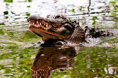 2 alligators before breeding in wetlands Royalty Free Stock Images