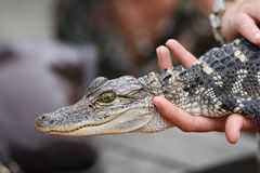 Alligators can be a real handful. Nursing a young alligator can be a real handful royalty free stock photos