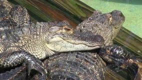 Alligators in captivity