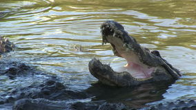 Alligators in captivity stock footage