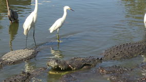 Alligators in captivity. Several alligators in captivity in Florida with egrets standing on top of gators