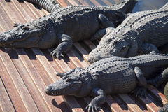 Alligators in captivity Royalty Free Stock Photo