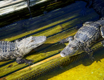 Alligators in captivity Stock Images