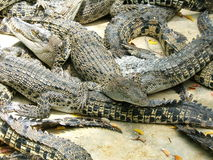 Alligators competition. Many alligators Royalty Free Stock Photography