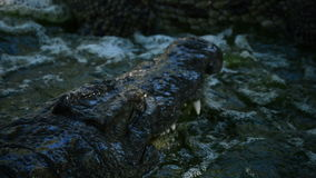 Alligators or crocodiles fighting in a river in a natural park or zoo. Crocodiles or alligators in a river of a natural park or zoo stock footage