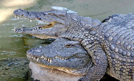 Alligators or crocodiles playing in the sun and water. Climbing over each other with what looks like a grinning goofy look on their faces stock photo