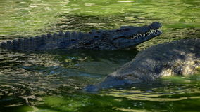Alligators or crocodiles in a river in a natural park or zoo. Crocodiles or alligators in a river of a natural park or zoo stock footage