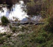 Alligators dans les marais images libres de droits