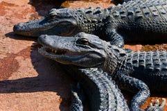 Alligators de bébé Photos libres de droits