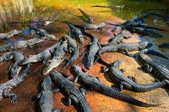 Alligators de bébé Photo libre de droits