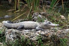 Alligators die in modder rusten Royalty-vrije Stock Foto's