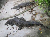 Alligators die op een concrete vloer in een krokodillandbouwbedrijf liggen stock foto