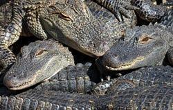 Alligators empilés Images libres de droits