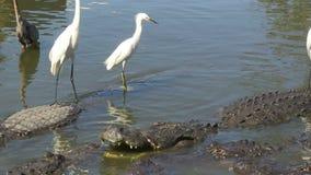 Alligators en captivité