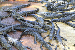 Alligators in the everglades, Florida Stock Photo